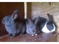 3 MALE DUTCH BABY RABBITS FOR SALE