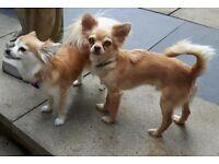 Chihuahua Pedigree