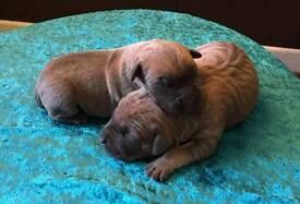 Beautiful Cane Corso puppies