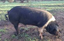 Berkshire X Saddleback pig Herne Hill Swan Area Preview