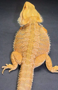 Adult male bearded dragon RTB