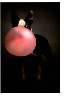 Funny Happy Birthday Dog With Big Pink Bubble Gum Blowout Greeting Card - Happy Dog Bubble