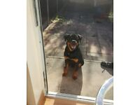 ROTTWEILER PUPPY 8 MONTH OLD FOR SALE