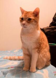 Senior Female  - Domestic Short Hair - orange and white