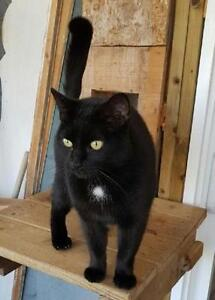 """Young Male Cat - Domestic Short Hair: """"Dudley"""""""