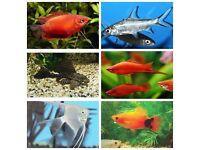10x Tropical Fish (Platies, Swordtails, Gouramis, Silver Sharks, Pleco, Angelfish)
