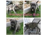 Kc reg blue Staffordshire Bull terrier