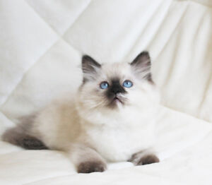 Female Persian Himalayan kitten is ready for her new home