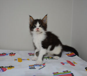KITTENS, MAINE COON , pure breed, registered.