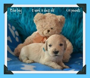 Mini Goldendoodle puppies !! 8 pup avalaible !!