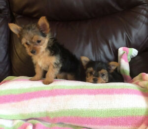 BEAUTIFUL  YORKIE  PUPPIES-YORKSHIRE TERRIER