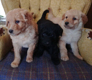 Golden doodle mix puppies for sale