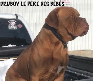 Dogue de bordeaux ( mastif francais)