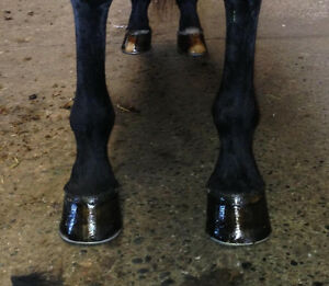 KP Horse Shoeing Farrier Services