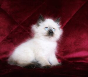 Teacup colourpoint persian kittens
