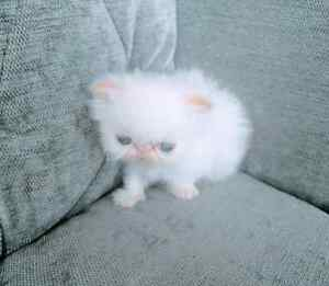 Purebred white blue eyed persian kittens available!!