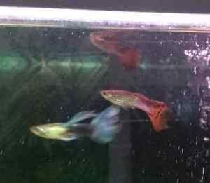 3 male guppies for free