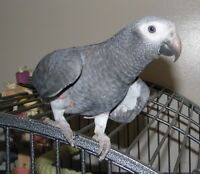 Congo African Grey trade with Macaw only.