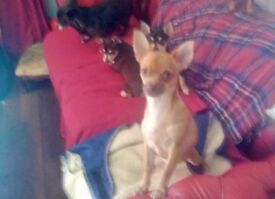 CUTE LITTLE GREEN EYED APRICOT CHOCOLATE PEDIGREED CHIHUAHUA PUPPY WITH CHOC EYEBROWS &CHOC NOSE