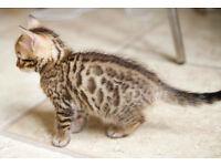 FOUR BEAUTIFUL BENGAL KITTENS
