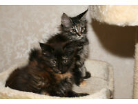 Maine Coon Kittens, 2 girls, registered, vaccinated and micro chipped For Sale to good homes.SOLD