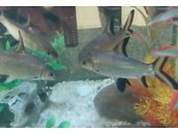 Pair of Silver Shark Tropical Fish