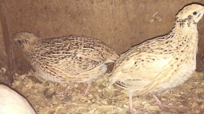 Jumbo Italian Quail hatching eggs x 12 for sale, good strong birds.