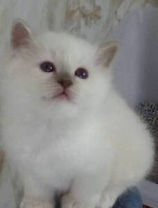 Birman Kittens Sandford Clarence Area Preview