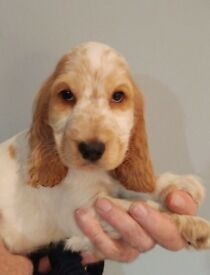 KC Reg Cocker Spaniel