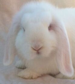 Lovely little mini lop aged 10 weeks available now