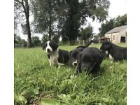 Collie X pups