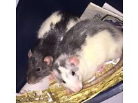 2 male brother Rats & New Cage