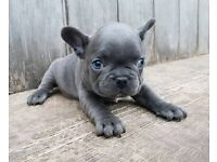 KC registered blue & blue/fawn French Bulldog