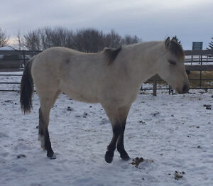Coming 2 Year Old AQHA