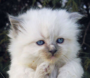 TICA blue Ragdoll female kitten ready for new home now! Delivery