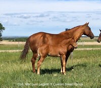 AQHA Horse for sale, Foals by Custom Smart Spook