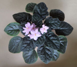 5 x African Violet Plants for Sale ($10 EACH)
