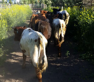 20 Longhorn Heifers For Sale. Exposed to bull. Good to rope