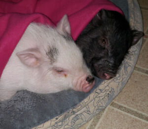 2 Potbellied Pigs