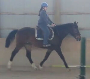 Handsome novice safe gelding