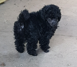 Purebred registered toy poodle puppy