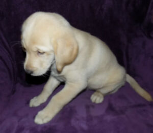 ~~~MUST GO! BEAUTIFUL RETRIEVER/LABRADOR PUPPIES***