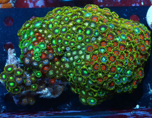 Radioactive Watermelons Zoanthids  Live Coral  FULL COLONY WYSIWYG