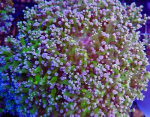 Green/purple frogspawn
