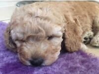 Gorgeous Cockapoo pups from health tested parents