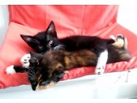 Kitten For Sale Black Male Cat With White Paws & Neck Kittens For Adoption Derby City Centre