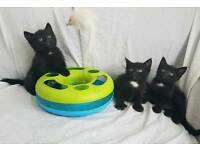 1 GORGEOUS BLACK BOY KITTEN LEFT