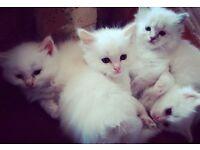Flame Point Ragdoll Kittens