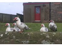 Muscovy Drakes- Lavender and White