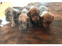 4 KC Reg miniature dachshund boy puppies for sale